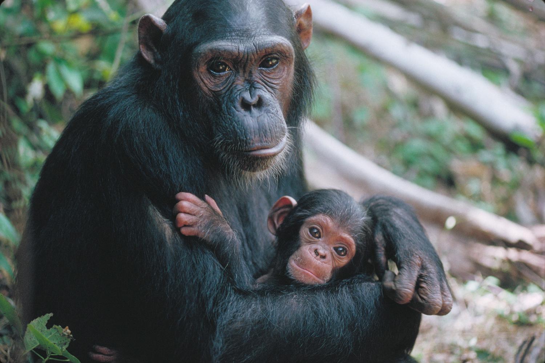 Jane Goodall's Wild Chimpanzees | MacGillivray Freeman Chimpanzee Jane